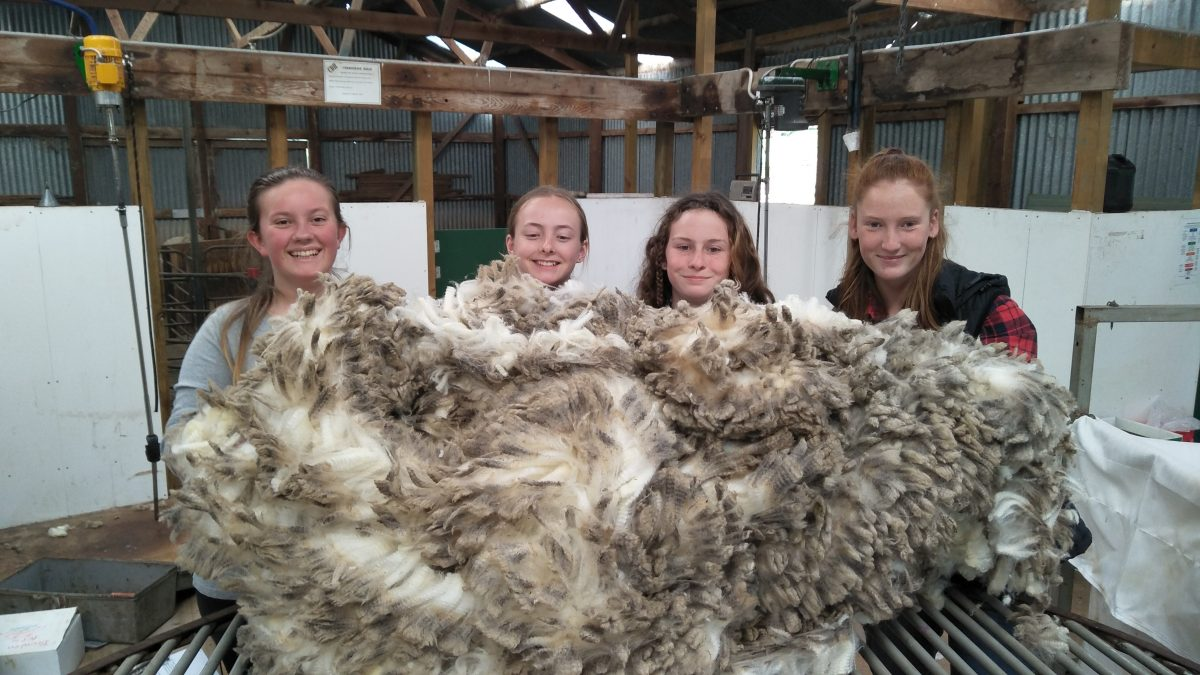 The Shearing Of Curly…
